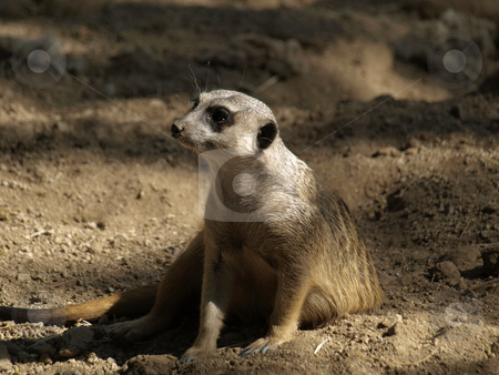 Meerkat  stock photo, Meerkat by Joseph Ligori