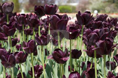 Tulip Festival stock photo, Holland, Michigan Tulip Festival by Ramses Racelis