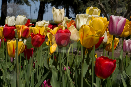 Holland, Michigan Tulip Festival stock photo,  by Ramses Racelis