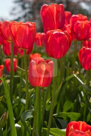 Holland, Michigan Tulip Festival stock photo,  by Ramses Racelis