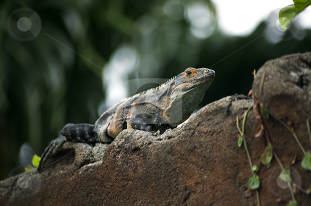 Iguana on a wall stock photo, Costa Rican iguana resting on a wall in the jungle by Scott Griessel