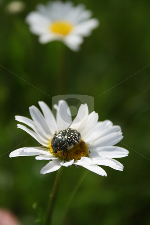 The beetle on the flower withe white petals . stock photo, The beetle on the flower withe white petals against a green background. by Viachaslau Barysevich