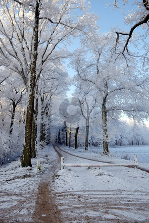 Frosted Trees stock photo, Frosted trees in the woods by Inge Schepers