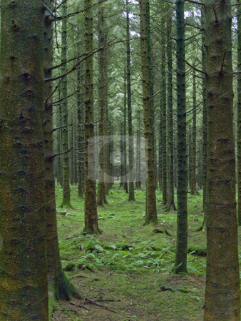 Symmetrical Forest stock photo, These long lanes of trees were asking to be photographed. by ANDREW NORRIS