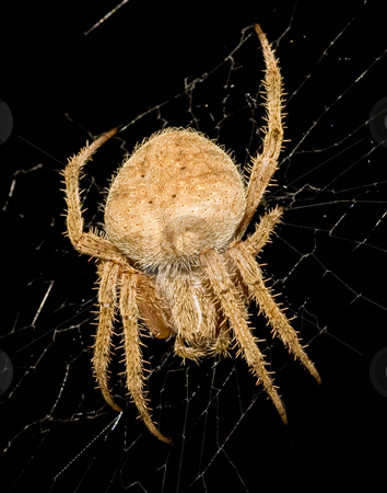 Garden Orb-weaver spider repairing web stock photo, Close-up (macro) of Garden Orb-weaver spider repairing her web late at night. by Greg Hutson