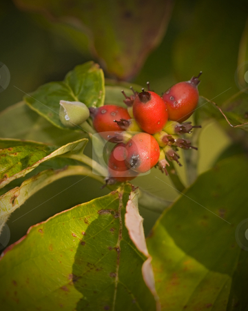 Dogwood fruit and leaves in autumn light stock photo, The season is early fall. The time is early morning. The first rays of a warming sun bathe the fruit and wilting leaves of this Cornus florida with a golden hue. by Greg Hutson