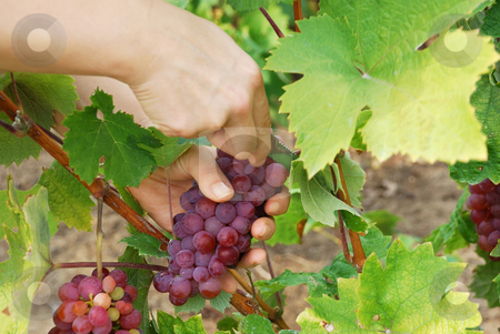 Picking grapes stock photo, A woman is picking grapes using a knife by Ivan Paunovic