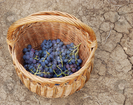 Grapes stock photo, A basket and grapes in it on the ground by Ivan Paunovic
