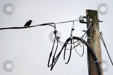 Lone Starling Perched on Telephone Wire stock photo, Black bird sits alone on wire near wooden hydro pole by Mark S