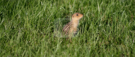 Chipmunk Hiding in the grass stock photo, Small Chipmunk hiding in tall green grass. by Betty Hansen