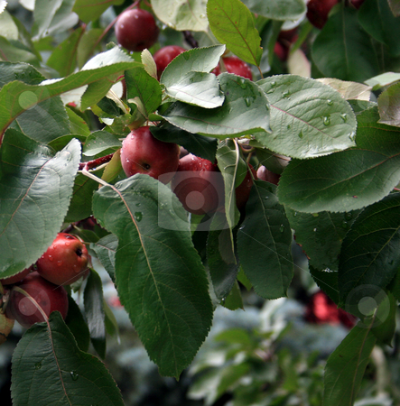 Red Delicious Apples  stock photo, Red delicious apples hanging on the tree after a morning rain. by Betty Hansen