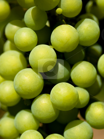Green grapes closeup stock photo, Greens grapes in vineyard in France by Laurent Dambies