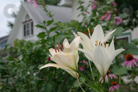 Daylily Blooms Hemerocallis stock photo, Daylilies are perenial plants that come in a variety of colors and are popular worldwide. Daylilies are some of the most adaptable landscaping plants and grow in most climates. by Dennis Thomsen