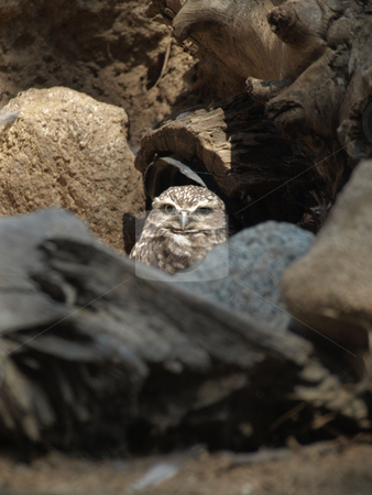 Owl hiding stock photo, Owl hiding among rocks appears to be awake by Joseph Ligori
