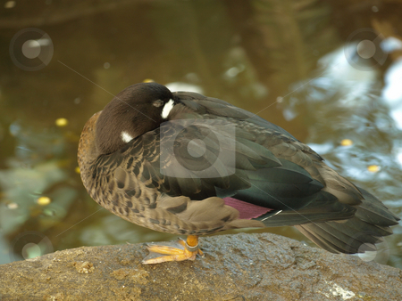 Duck with head tucked stock photo, Duck with head tucked into back perched on rock by Joseph Ligori