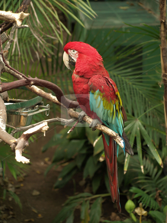 Maccaw Perched stock photo, Beautiful red and green Macaw perched on branch by Joseph Ligori