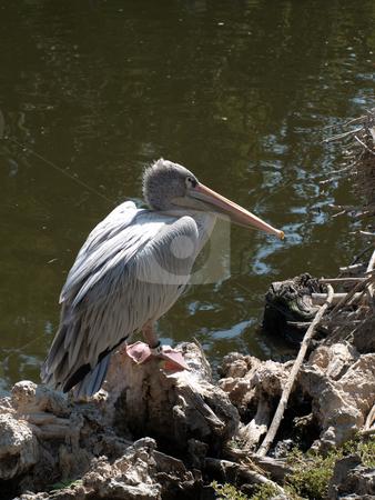 Pelican perched stock photo, Pink Pelican perched at shore by Joseph Ligori