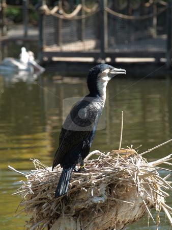 Nesting bird stock photo, Odd Bird on Nest at lake habitat by Joseph Ligori