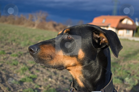 Dreaming stock photo, A portrait of a black dog on a stormy day by Alexander L?