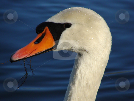 Off the Water stock photo, A white swan raising his head out of the water by Alexander L?
