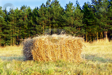 Wafer of hay stock photo, Yellow wafer of hay over pine trees by Julija Sapic