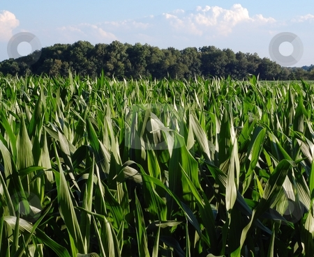Corn field under blue sky stock photo, Corn field under blue sky in July (Goshen, Indiana, USA) by Heather Shelley