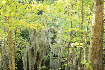 Spanish Moss stock photo, Spanish moss hanging from tees. Photo taken in Lumkin, GA by George Botta