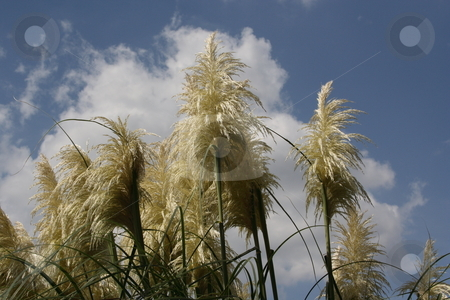 Pampasgrass stock photo, Pampasgrass reaching for the sky by George Botta