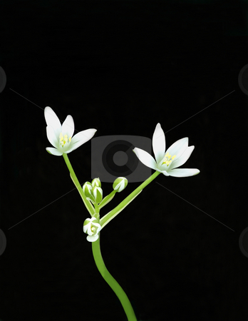 Star of Bethlehem stock photo, Stem of a Star of Bethlehem (Ornithogalum umbellatum) topped with white flowers against a black background. by Kathy Piper