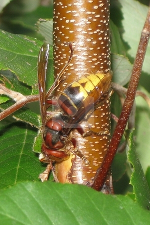 European hornet/giant hornet/bell hornet stock photo,  by Jeffrey Sharpe