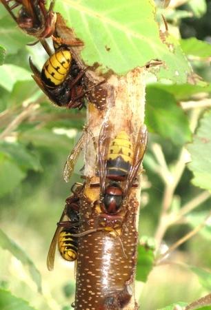 European hornet/giant hornet/bell hornet stock photo,  by Jeffrey Sharpe