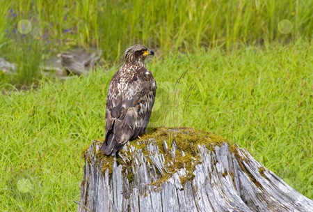 Juvenile Vigilance stock photo, A juvenile bald eagle keeps watch over the nearby stream and meadow from his perch on the stump. by Mike Dawson