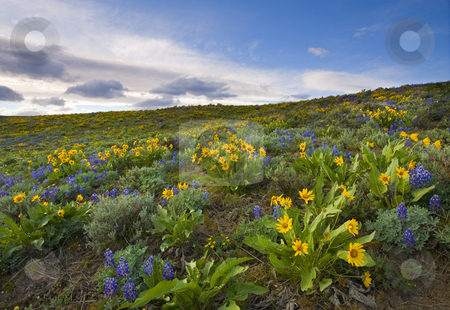 Spring Wildflowers stock photo, A veritable explosion of Spring on the foothills of Snow Mountain Ranch in the Upper Yakima Valley. Lupine and Balsamroot combine to scatter color everywhere. by Mike Dawson