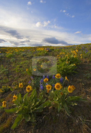 Purple & Gol stock photo, A veritable explosion of Spring on the foothills of Snow Mountain Ranch in the Upper Yakima Valley. Lupine and Balsamroot combine to scatter color everywhere. by Mike Dawson