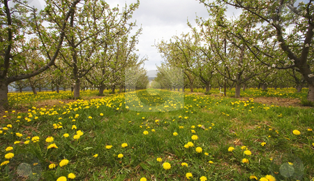 Canopy of Blooms stock photo, A low angle view of dandelions popping up in an apple orchard where spring blossoms grace the trees. by Mike Dawson
