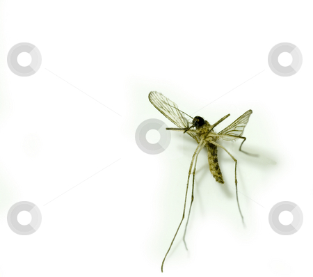 Mosqito stock photo, Close up on a mosquito by Stephen Gibson