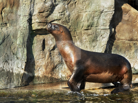 Sealion out of water stock photo, A Sealion out of water on a hard rocky edge on a sunny day by Mark Allchin
