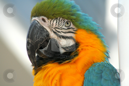 Orange Breated Macaw stock photo, Close-up of an orange-breasted macaw by Thomas Marchessault