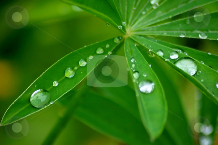 Waterdrops on leaves stock photo, After the rain by Lars Kastilan