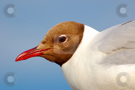 Black-headed Seagull stock photo, A seagull by Lars Kastilan