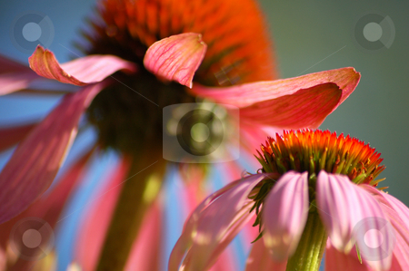 Echinacea stock photo, Echinacea, a flower used in homeopathic medicine by Lars Kastilan