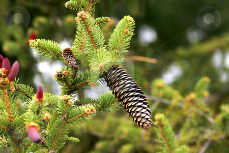Pine cones stock photo, Pinaceae cones  containing the reproductive structures of the tree. The picture show both male and female cones. by Serge VILLA