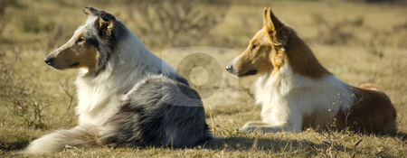 Farm Dogs stock photo, Two collie dogs watching the sunset on a farm by Lee Torrens