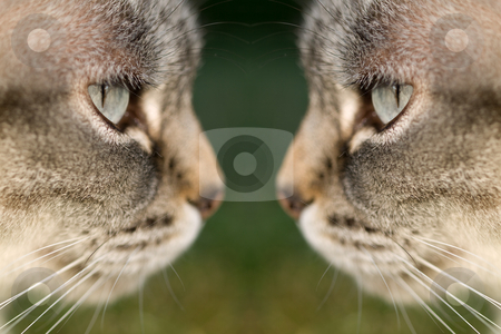 Cat face to face stock photo, Closeup portrait of two cats face to face by Laurent Dambies