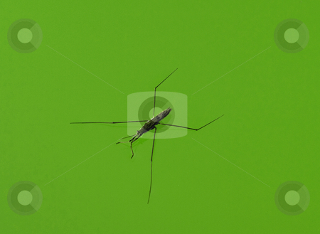 Water strider macro stock photo, Macro of a  water strider walking on water isolated on a green background by Laurent Dambies