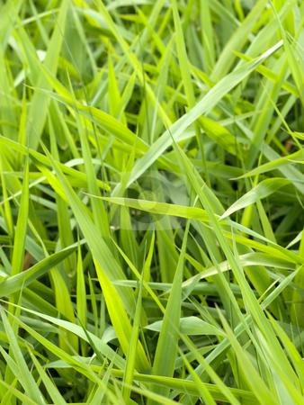 Beautiful fresh grass background stock photo, Close up of a beautiful fresh wild grass by Laurent Dambies