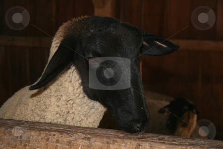 Peeking Sheep stock photo, A small sheep peeking his head over the top of his stall gate looking for food. Has his brother lays across from him in the barn stall. by Betty Hansen
