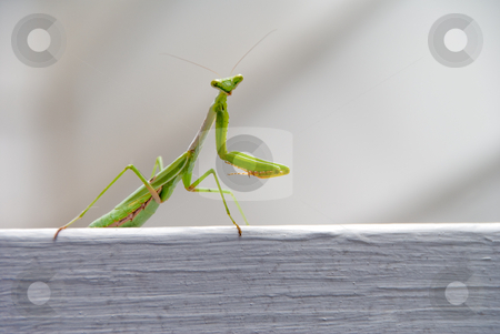 Praying Mantis stock photo, The wild carnivorous insect known as the Praying Mantis. by Robert Byron