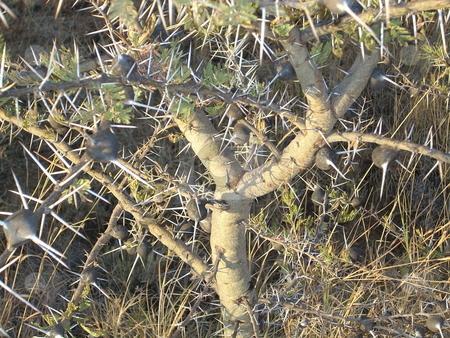 Thorns - background stock photo,  by Rose Nthiwa