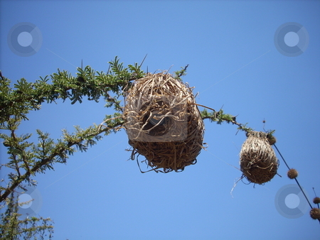 Birds Nests on a Branch stock photo, Intricate birds nests built on the very thin branches of a thorn bush. by Rose Nthiwa